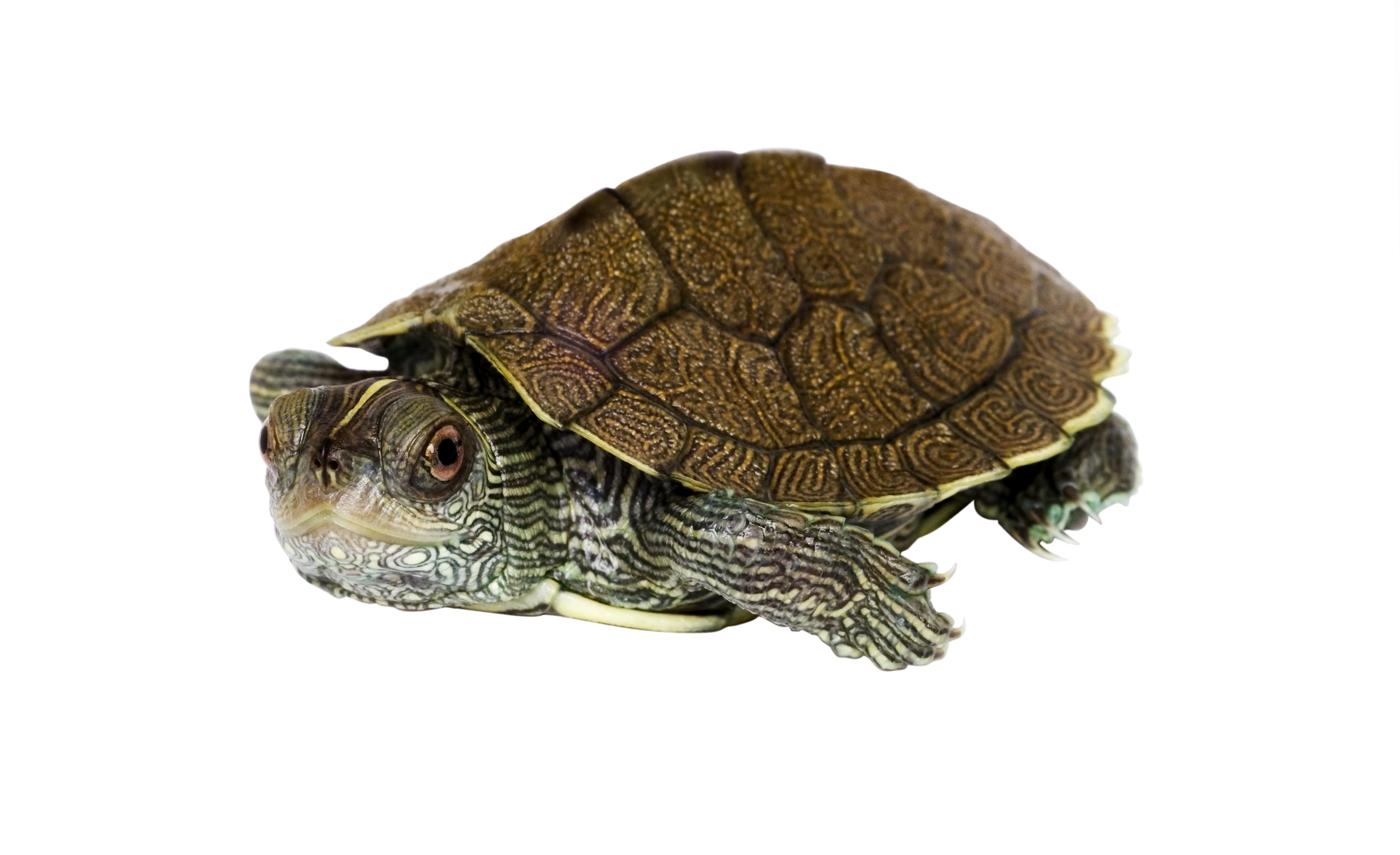 Watch for nesting turtles on roadways